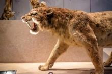 """Cientistas descobrem maior felino """"dente-de-sabre"""" que viveu há milhões de anos na América do Norte"""