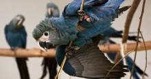 Reprodução de arara-azul no Brasil é marco para o futuro da espécie