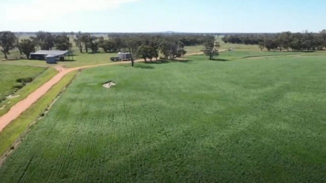 Os campos no sudeste da Austrália se recuperaram da seca e acabaram fornecendo comida para roedores (CRÉDITO: BBC)