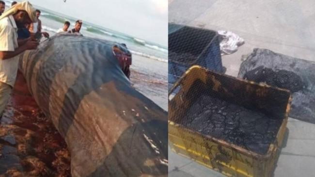 Pescadores encontraram âmbar-gris dentro de baleia cachalote (CRÉDITO: REPRODUÇÃO)
